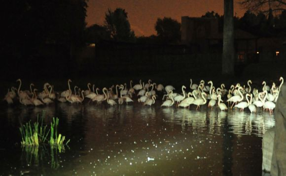 A flock of flamingoes settling down for the night at the Pretoria Zoo