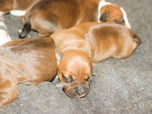 Litter of stafforshire terrier puppies