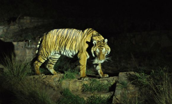 A male bengal tiger seen at night in the Pretoria Zoo