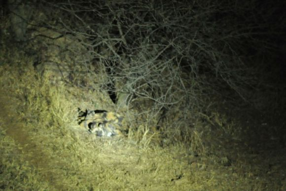 A pack of wild dogs sleeping under a tree at the Pretoria Zoo